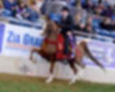 Johnny Ryan-Nation Champion Arabian Horse trainer