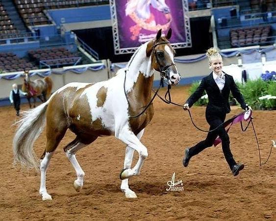 Half Arabian gelding Toocool For School Albuquerque NM.jpg
