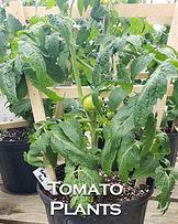 Plant Nursery near Ithaca Tomato plant.jpg