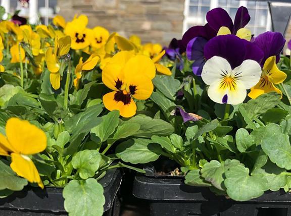 Pansies at for spring planting at Dedricks Farm Market