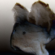 Chiroptera pouledog ink.jpg