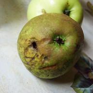 pomme alba pouledog ink.jpg