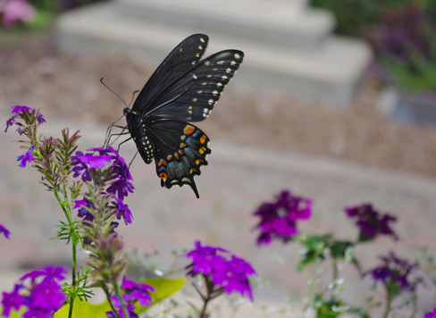 Butterfly Pause