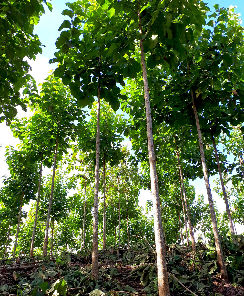 Rows of teak trees within the Nicaforest plantation.