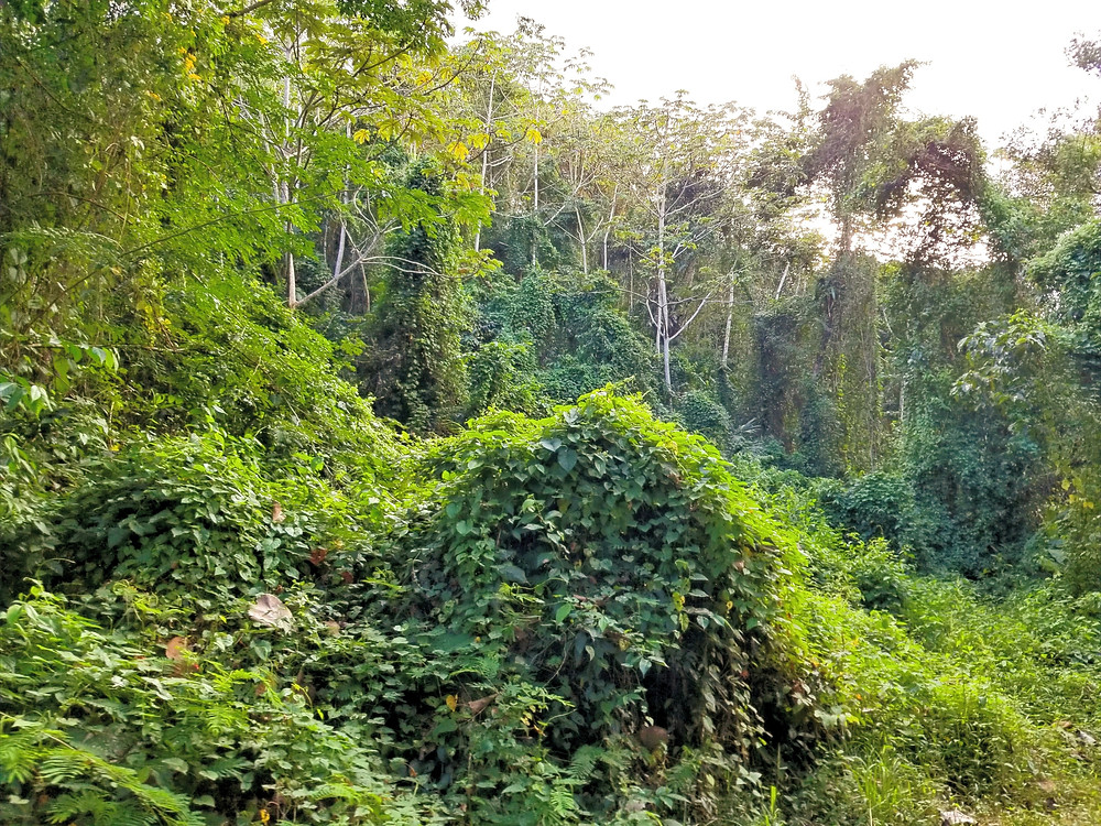 Dense forest within Nicaforest protected area