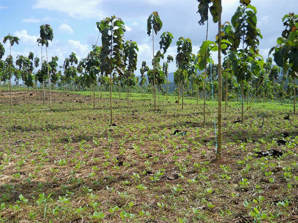 Intercrop Bean planting, early teak plantations Nicaforest, Nicaragua.