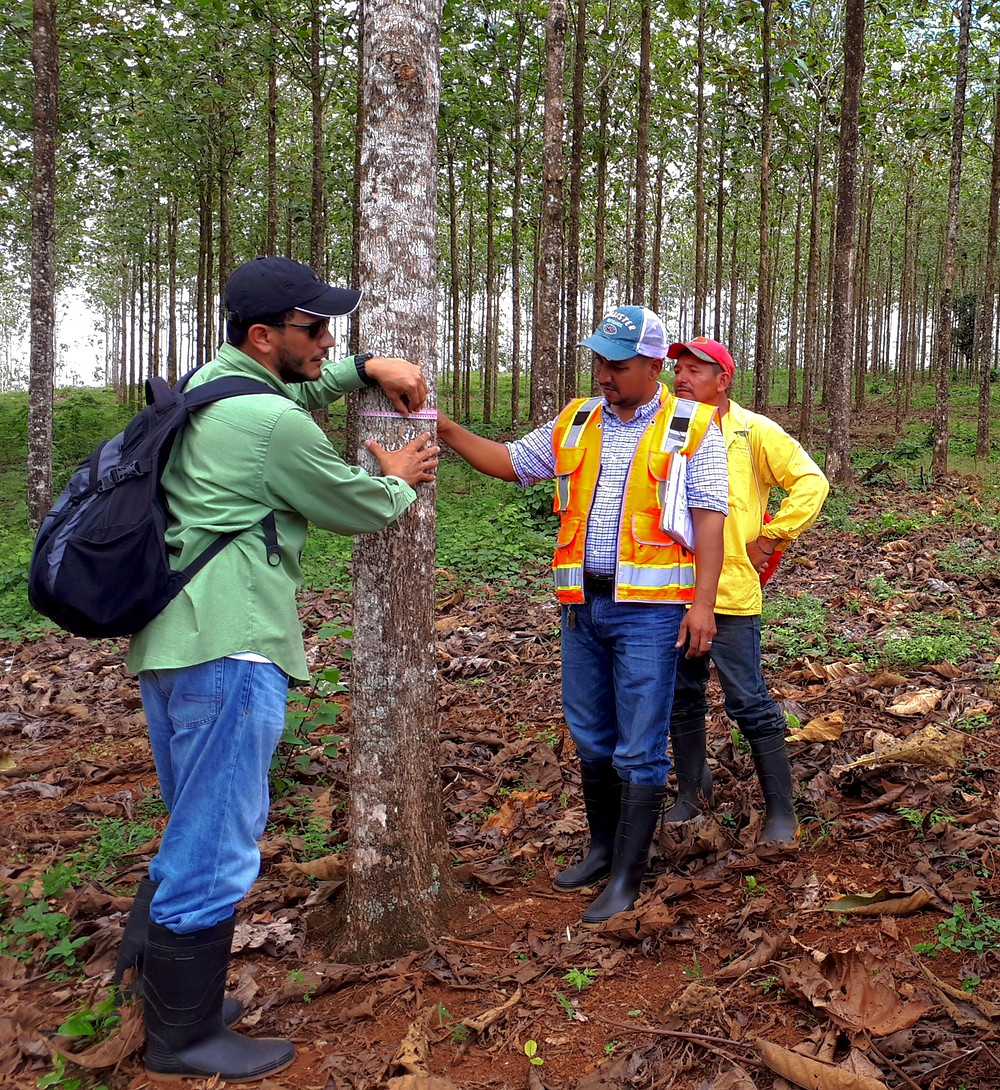 Nicaforest workers examining a teak tree.