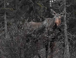 White Moose.jpg