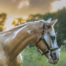 Paint Horse Portrait Photography