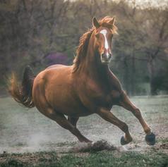 Chesnut Mare equine portrait