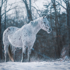 Leopard Appaloosa in winter equine photography