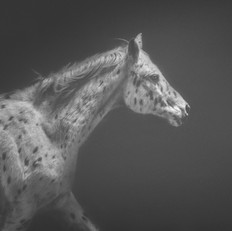 Black and White Leopard Appaloosa Horse Photograph