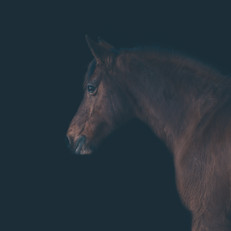 Black background horse portait
