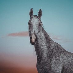 Grey Arabian Gelding Portrait