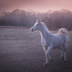 Morning Horse Portrait Grey Arabian