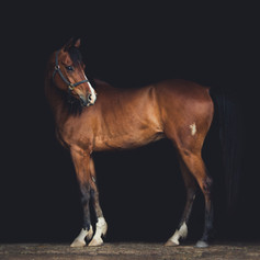 Black Background Arabian Horse Portrait
