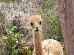 11-4-14 Llama, alpaca farm (6)