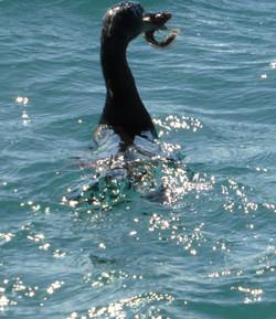 10-28-14 Elizabeth Bay, Isabela Island (7)