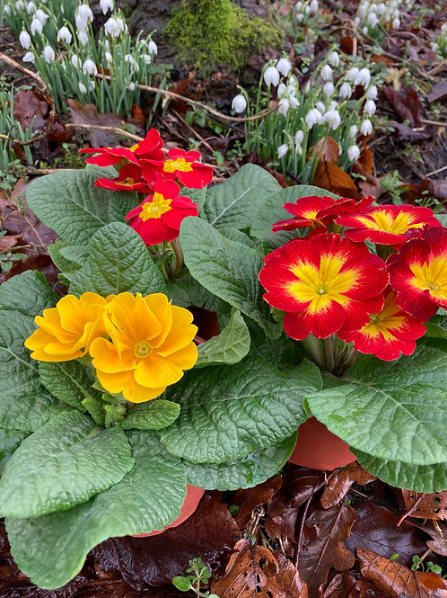 Primrose Collection - Hot Reds & Yellows (set of 3)
