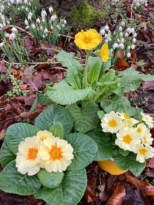 Primrose Collection - Spring Yellows (set of 3)