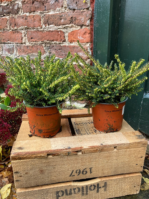 Erica darleyensis (Collection of 4)
