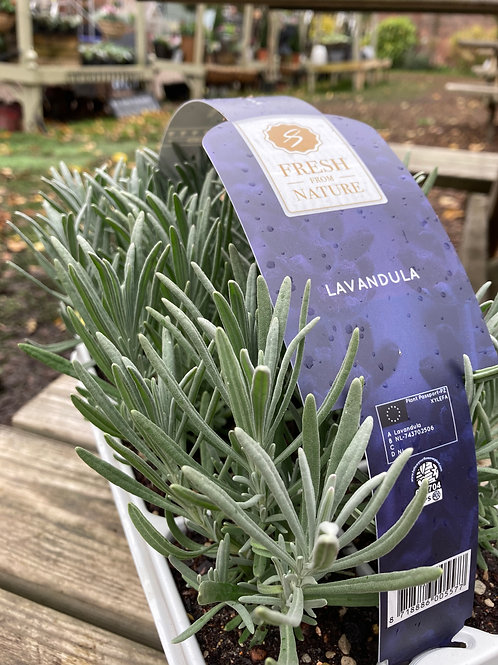 English Lavender (Box of 6)