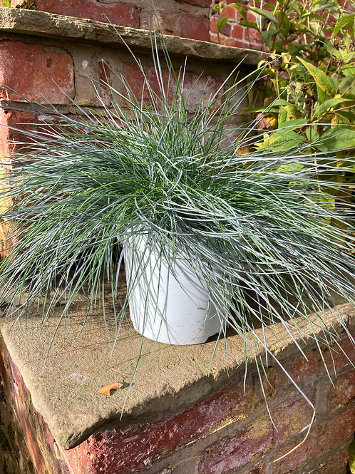 Large Festuca Grass