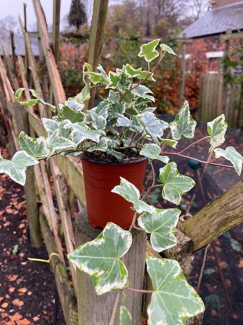 Variegated Ivy (Set of 3)