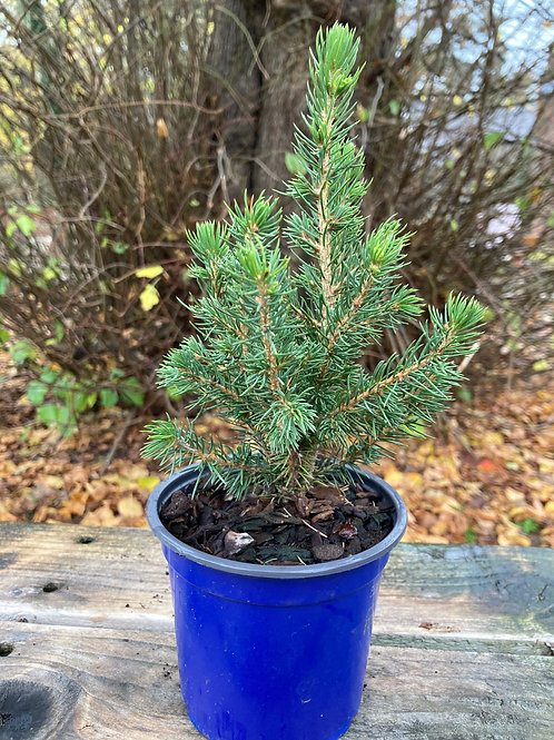 Picea Tree (Mini)
