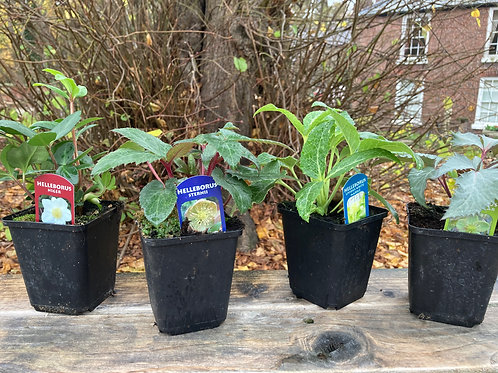 Hellebore Collection (Set of 4)