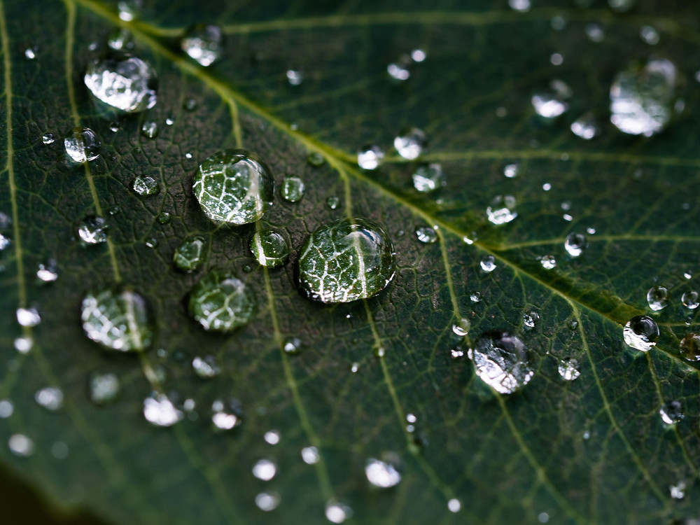 Water droplets on a leaf | Plasinia