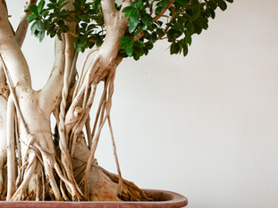 The Shala Bonsai