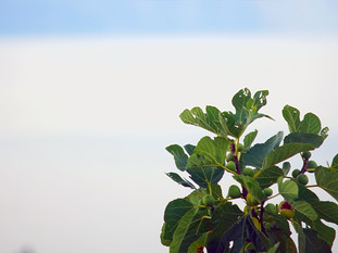 Garden's Fig Tree