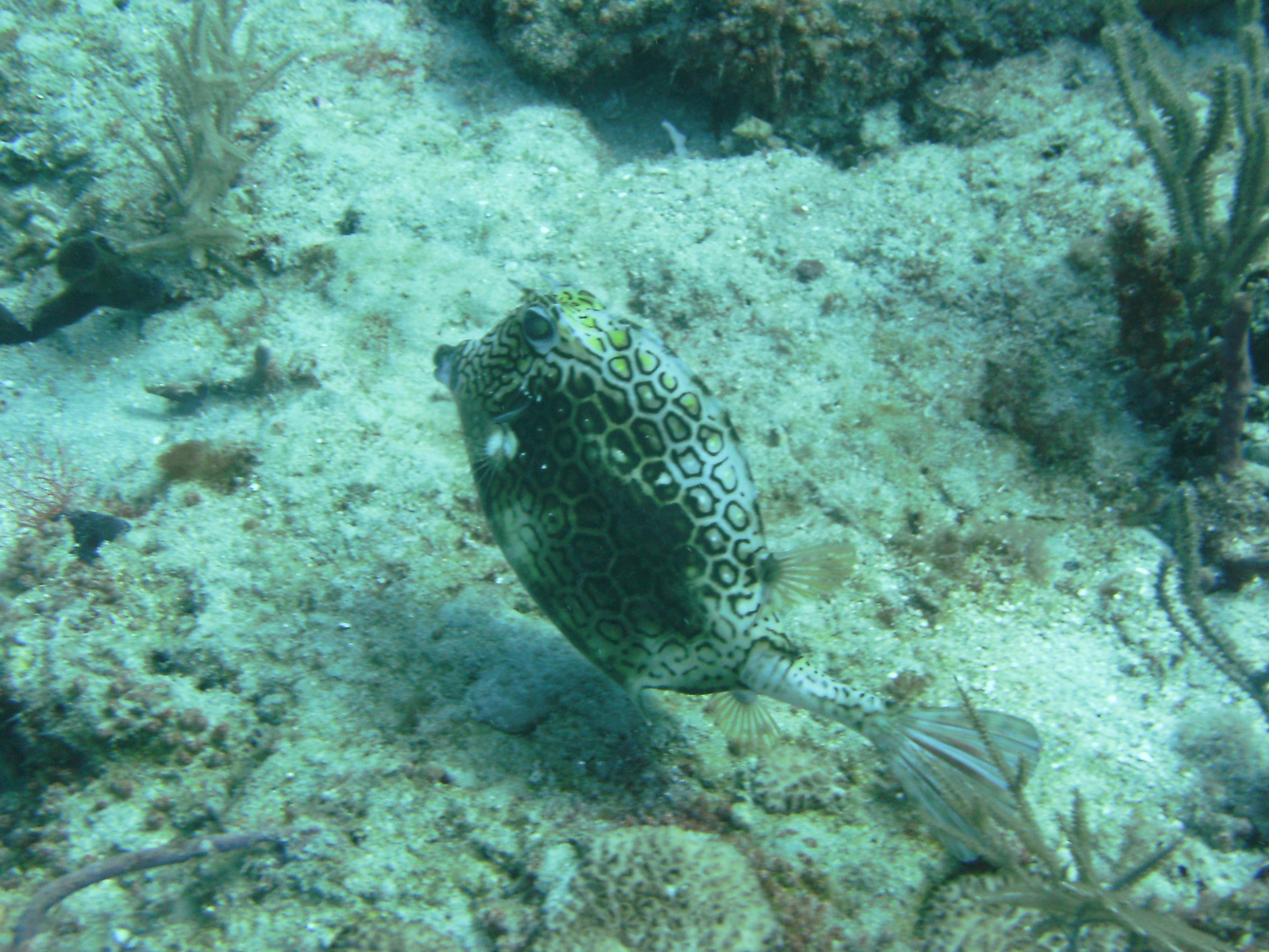 Cow fish FL Keys