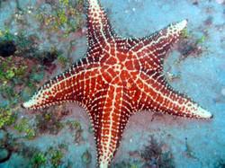 Huge Caribbean Starfish