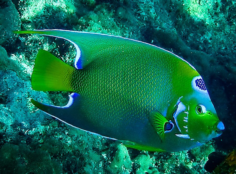 Colorful Angelfish