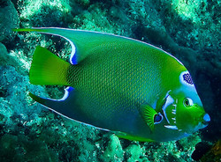 Colorful Angelfish