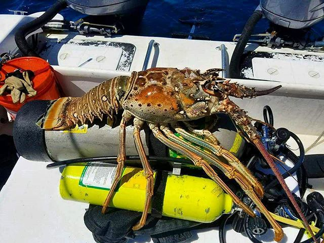 HUGE LOBSTER