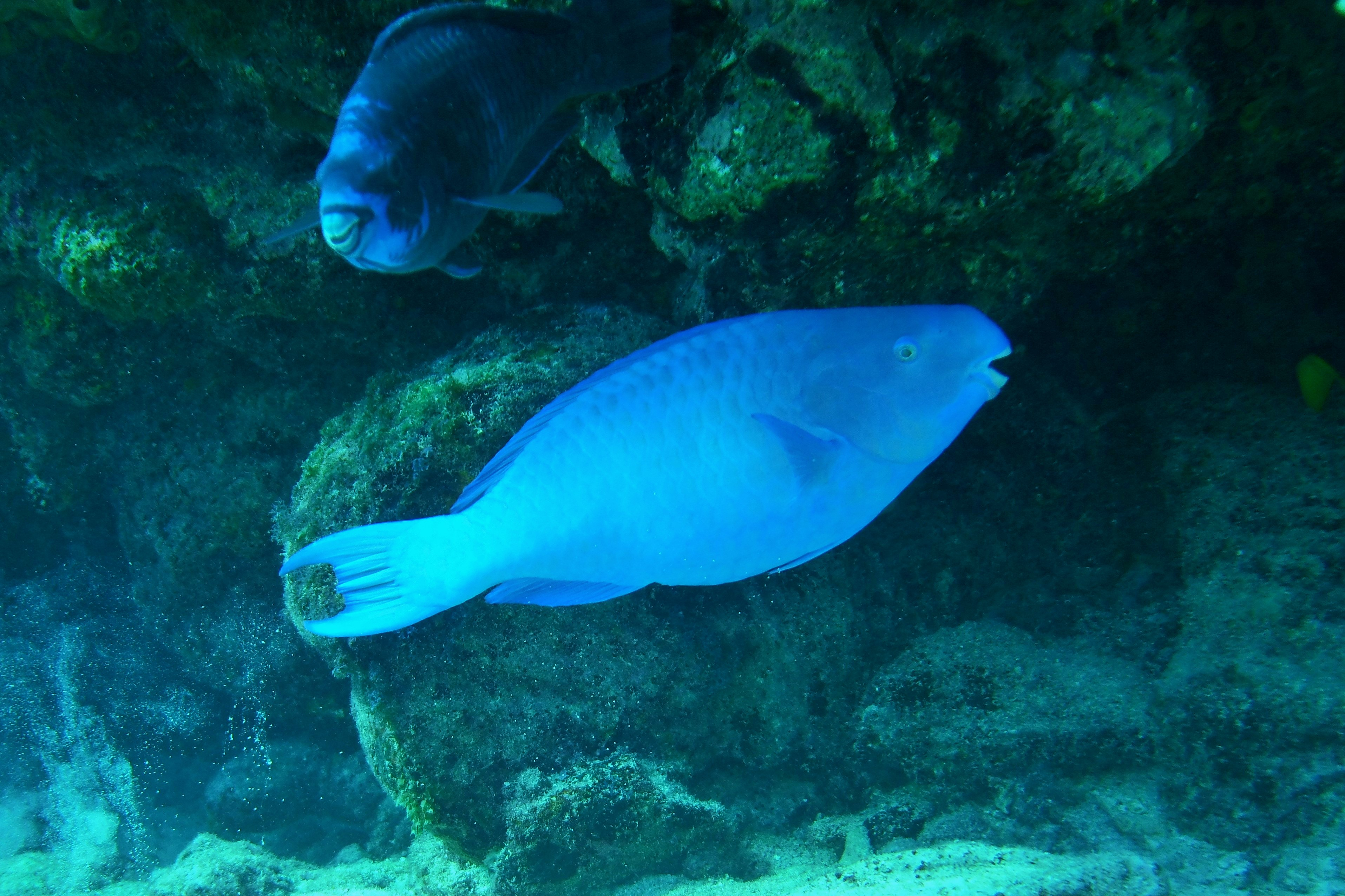 Parotfish