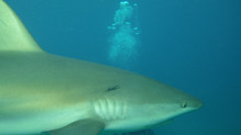 Shark Encounter in Bimini