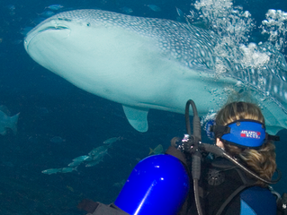 Want to dive with a Whale Shark?