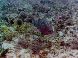 red grouper friend