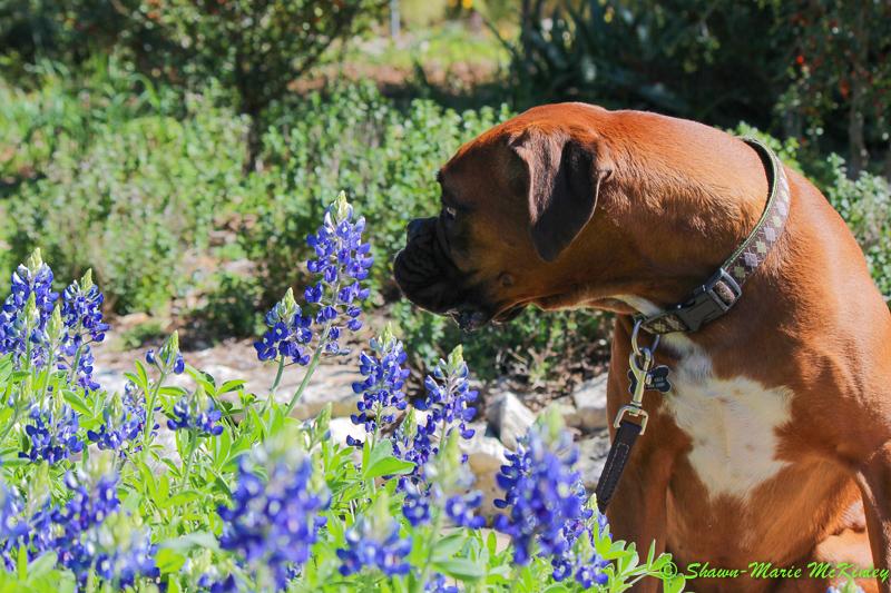 Bluebonnet Sniff