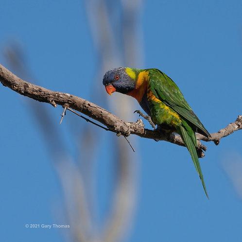 Rainbow Lorikeet (26-300)
