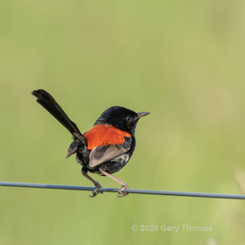 Red-backed_Fairywren_20_3.jpg