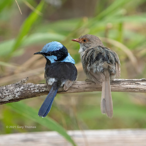 Superb Fairywrens