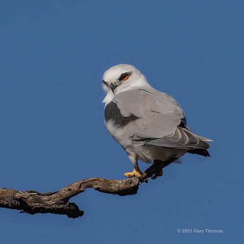 Black-shouldered Kite (06-300)