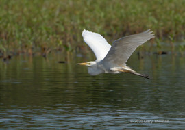 Great_Egret_01_3.jpg