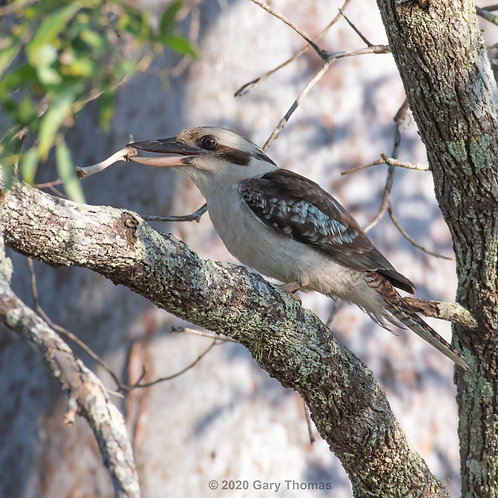 Kookaburra with a bone