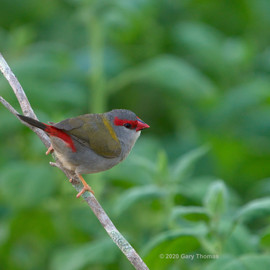 Red-browed_Finch_04_3.jpg